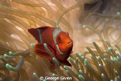 This Spinecheek Anemonefish was photographed off Bangka I... by George Given 
